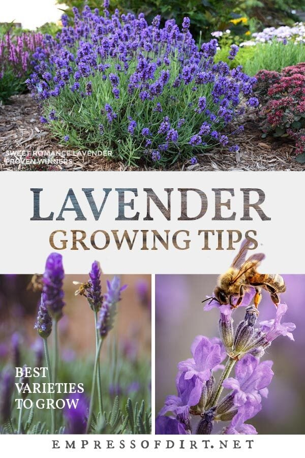 Examples of lavender growing in the garden with a pollinating bee.
