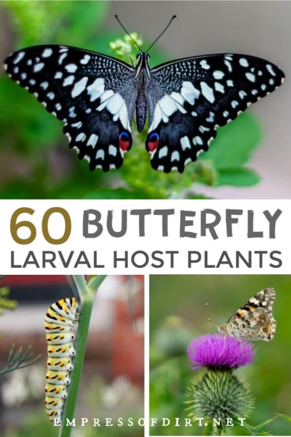 These plants are essential for butterflies to survive, providing a place to lay their eggs. See the entire list of host larval plants.