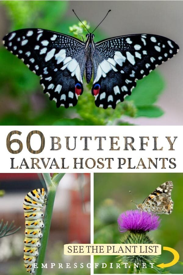Butterflies and the plants they need for their larvae to survive.