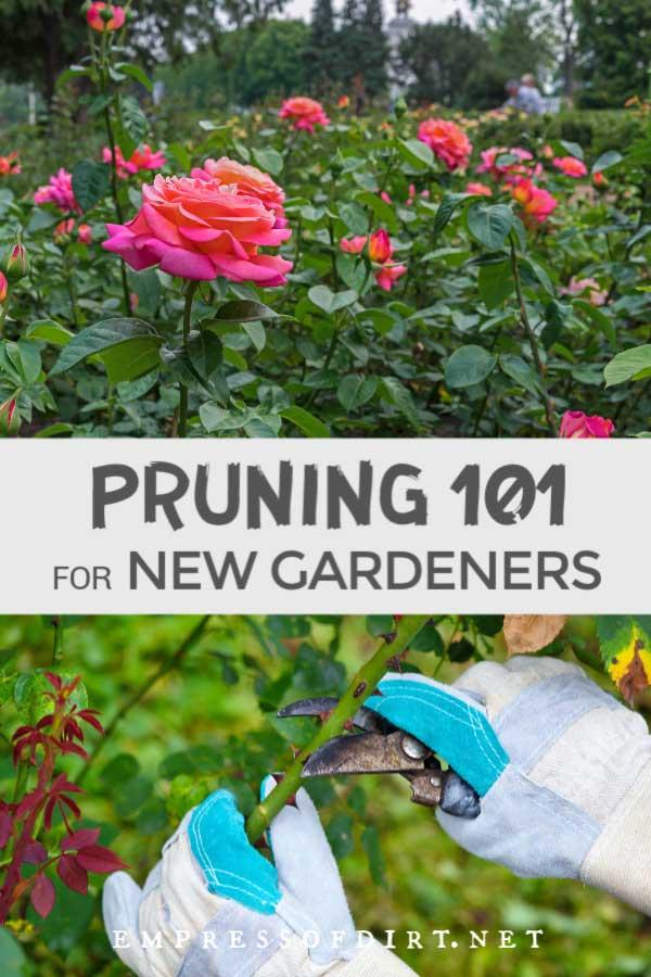 Pink rose bushes and gardener pruning rose vine.