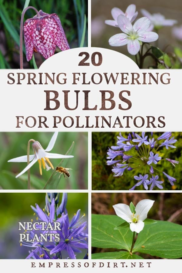 Examples of spring-flowering bulbs that provide nectar for pollinators include trout lily, trillium, and agapanthus.
