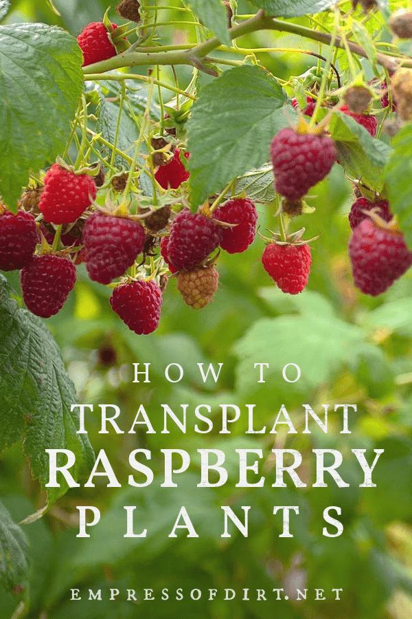Raspberries growing on a bush.