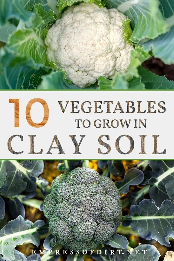 Cauliflower and broccoli both grow in clay soil.