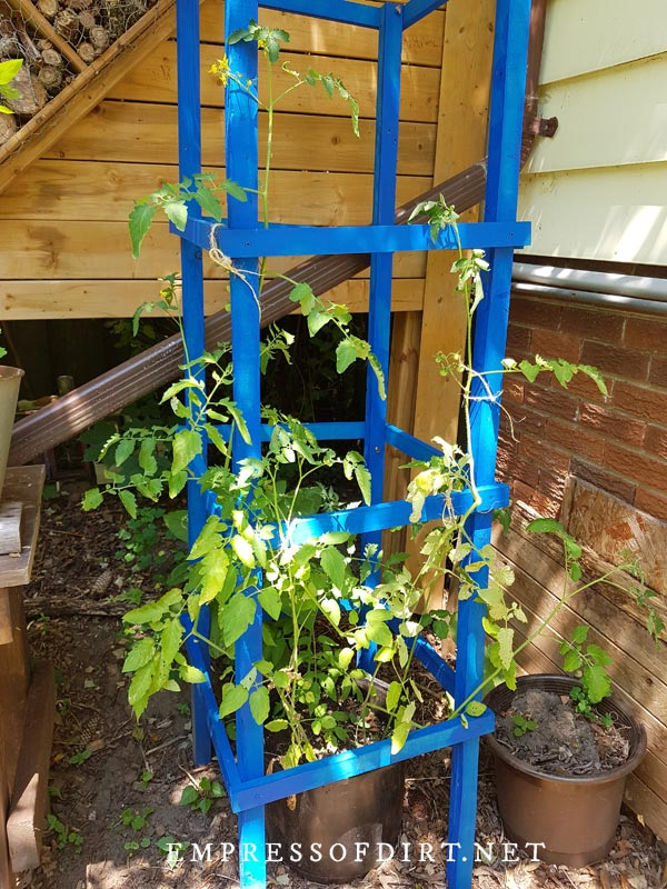 Wooden tomato cage painted blue.