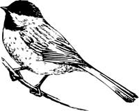Chickadee bird.