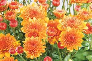 Chrysanthemums Chrysanthemum morifolium