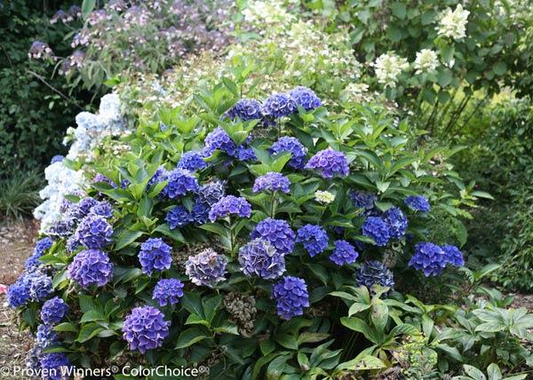 Cityline® Venice Bigleaf Hydrangea macrophylla by Proven Winners