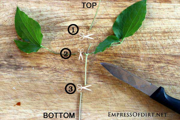 How to cut a clematis vine for propagation.