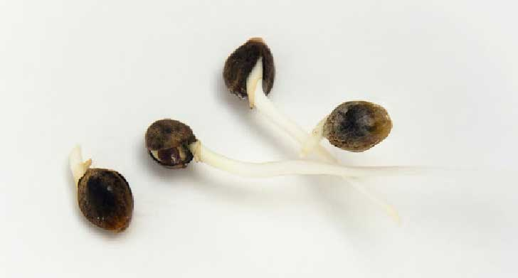 Seeds germinating.