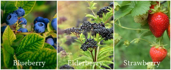 Fruit plants that tolerate acidic soil.