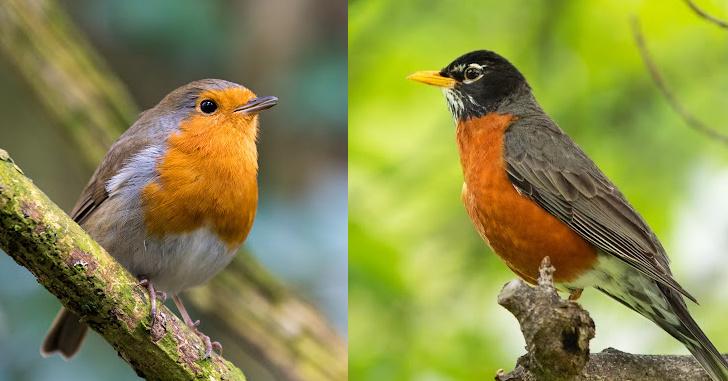 European versus American robin