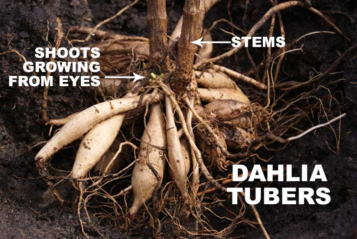Diagram of dahlia tubers showing stems and eyes.