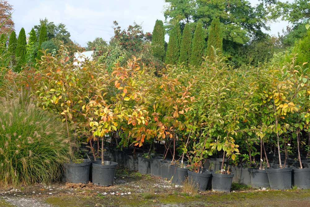 Potted trees at garden nursery in fall.