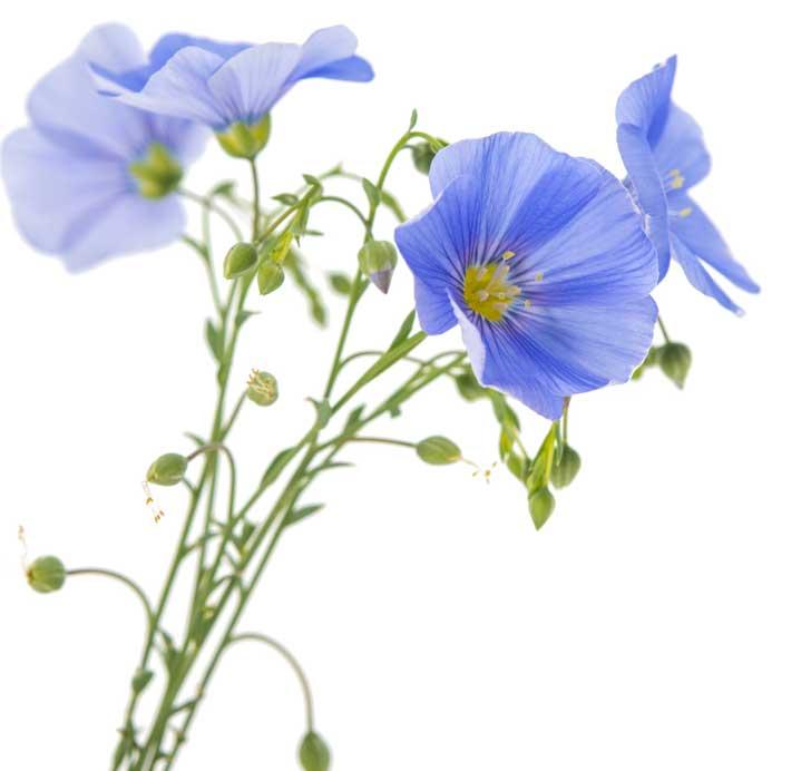 Flores de linho
