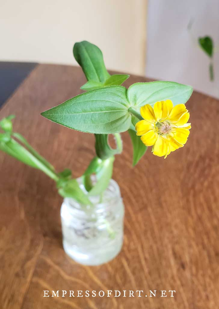 Zinnia cutting in water in a jar with one yellow flower.