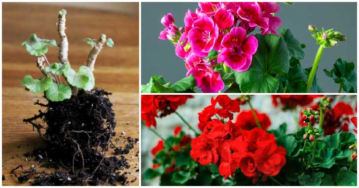 Geraniums for overwintering with pink and red flowers.
