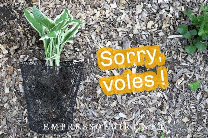 Using a mesh basket to protect hosta roots.