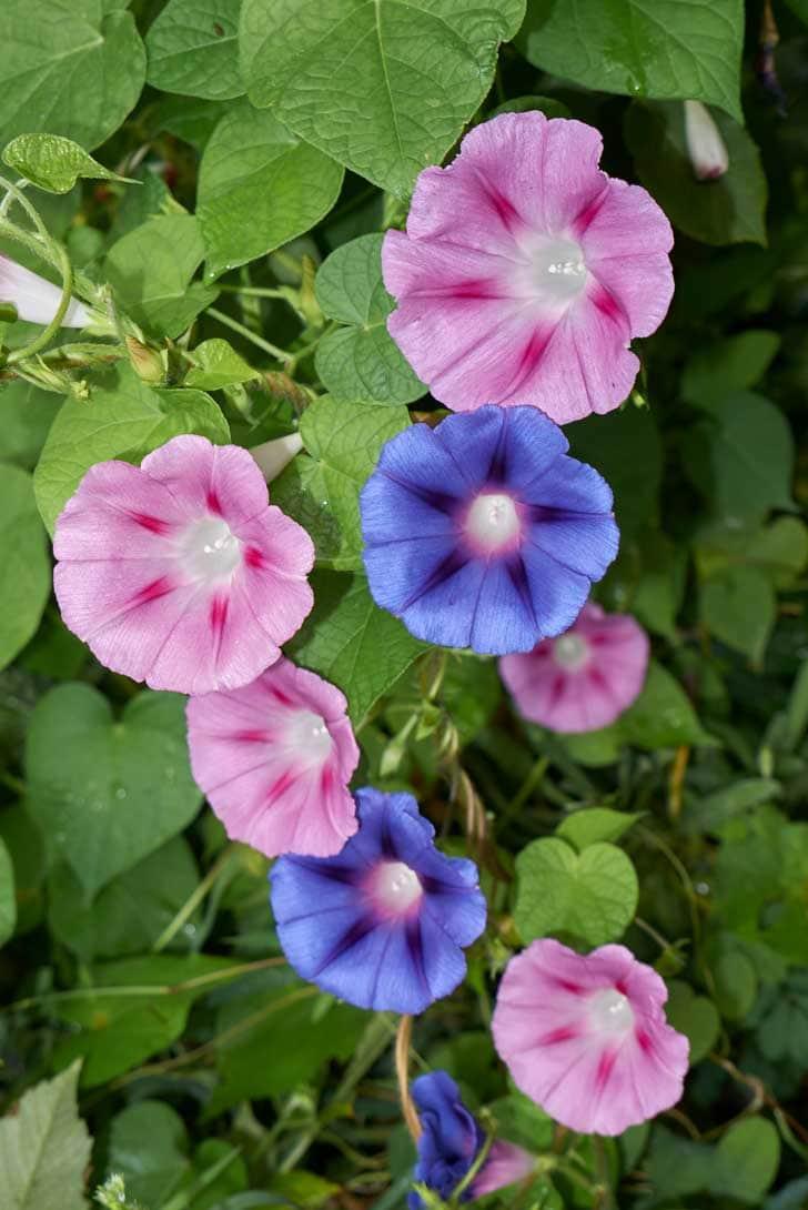 Flores de ipomeia