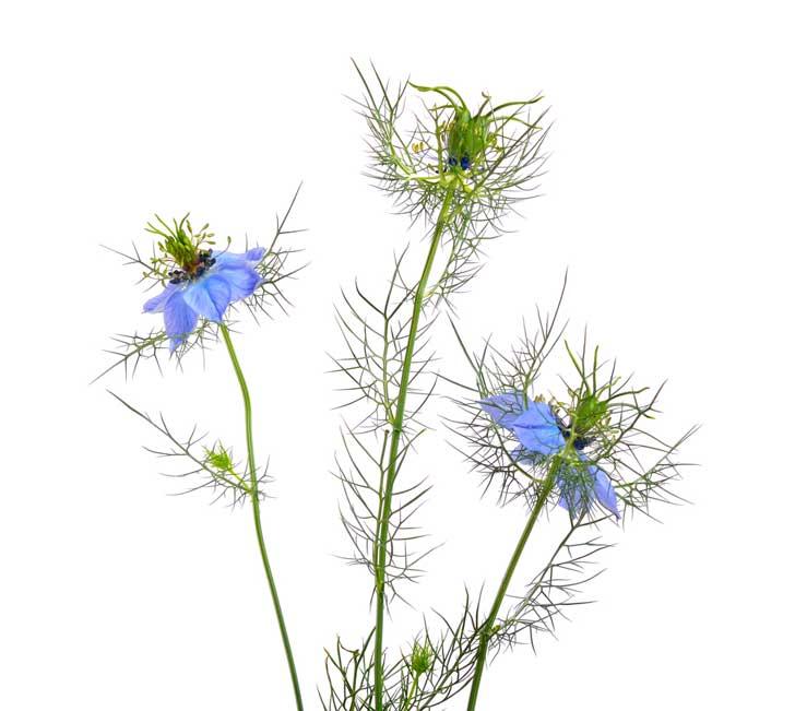 Flores de Nigella