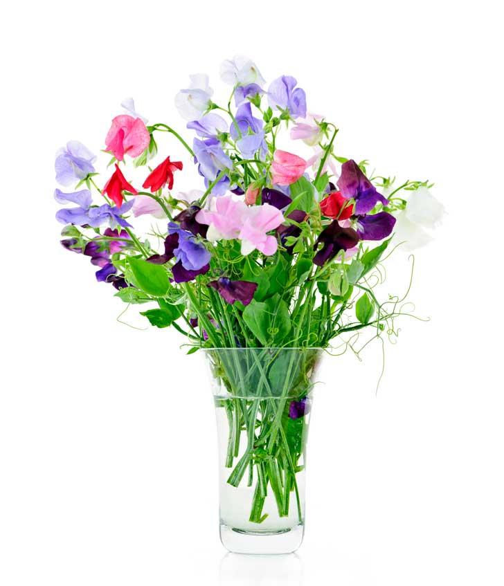 Flores de ervilha doce
