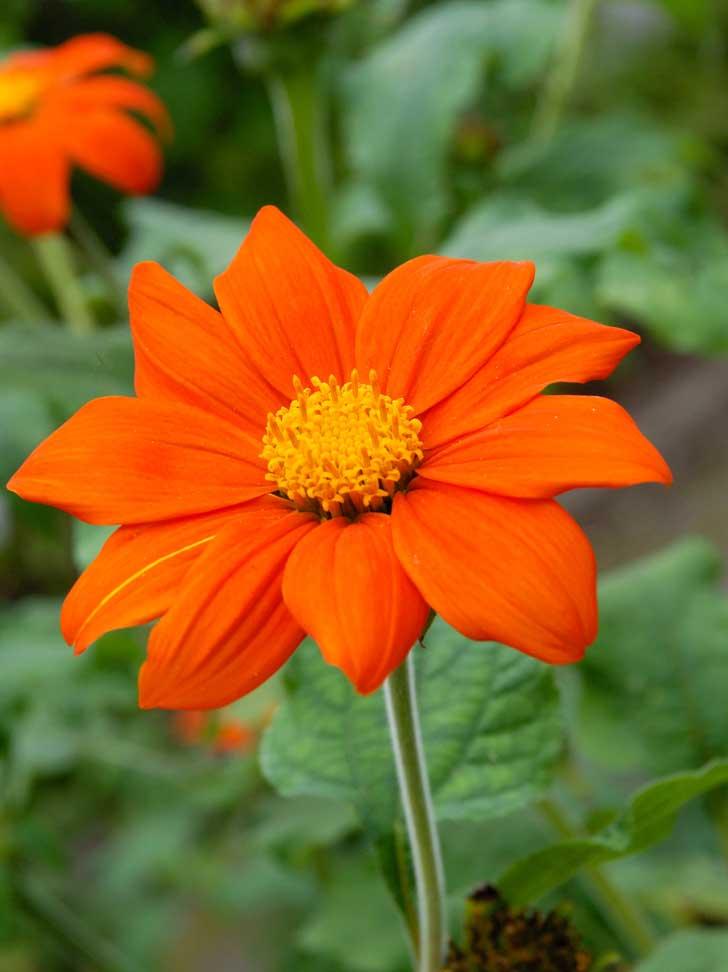Flor Tithonia rotundifolia