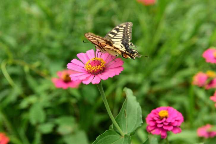 Butterfly pollinating a zinnia flower.