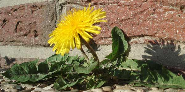 Incredible dandelions could hold the key to growing plants on the oilsands