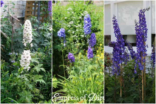 Delphiniums can be white, blue, purple, red, or yellow.