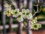 Dogwood flowers on tree.
