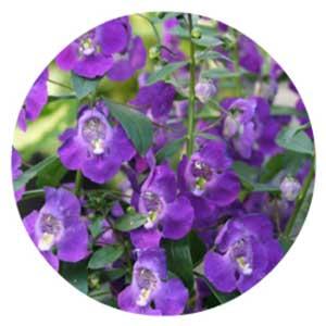 Purple snapdragon flowers.