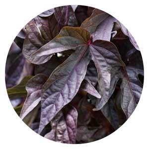 Deep purple sweet potato vine leaves.