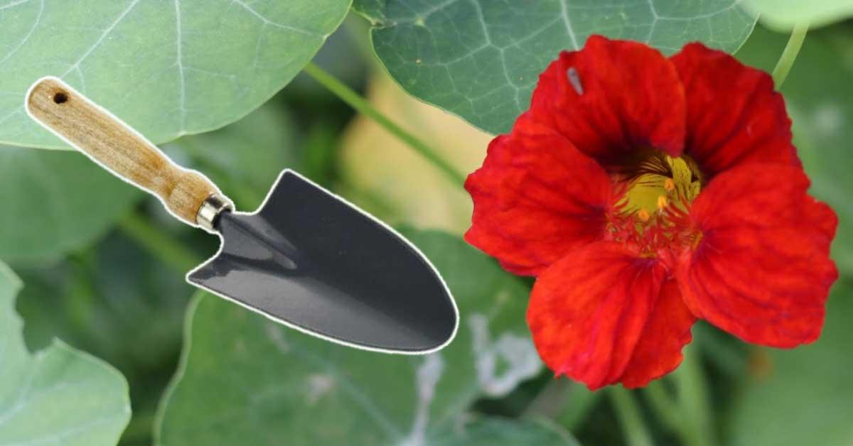 Bright red nasturium flower and a garden trowel.