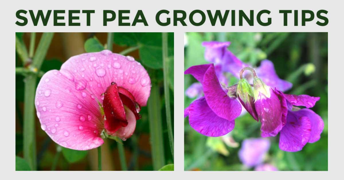 10 Best Tips For Growing Sweet Peas Empress Of Dirt