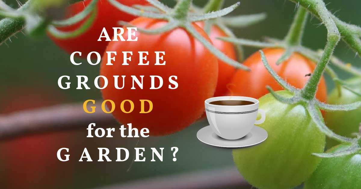 Coffee grounds in the garden.