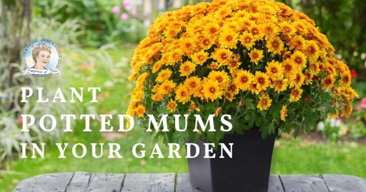 Potted mums ready to plant outdoors in the garden.