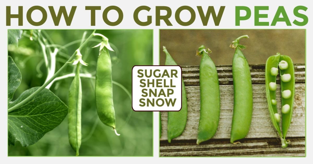Green peas growing in vegetable garden.