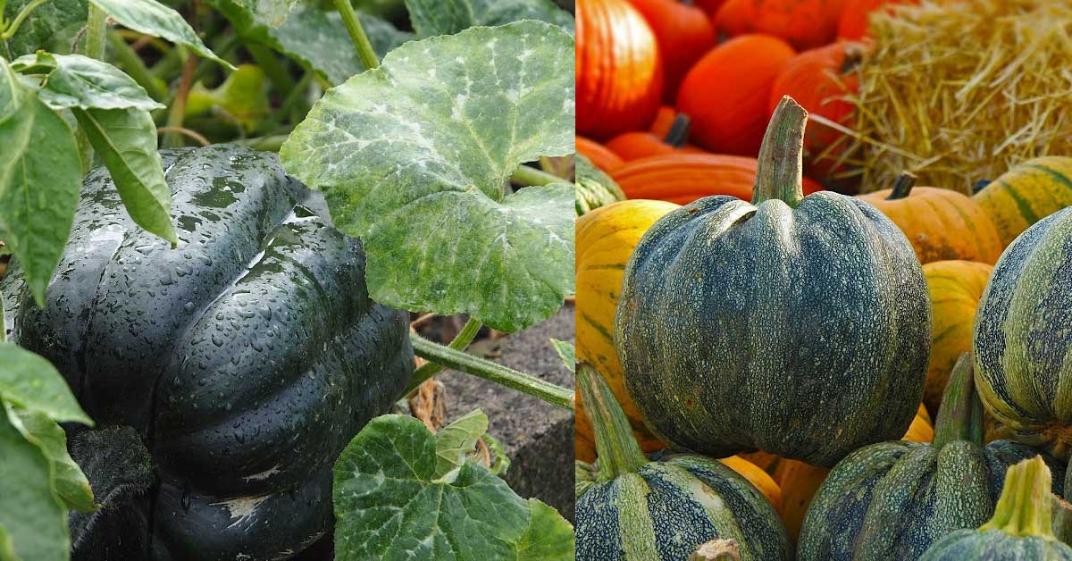 Examples of winter squashes.