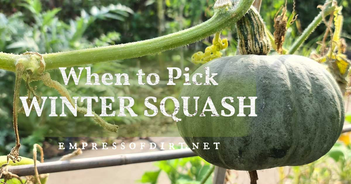 Winter squash ready for picking.