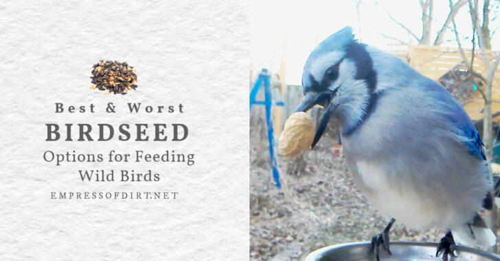 Bluejay bird with a peanut shell in its beak in a backyard garden.