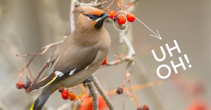 Wild bird eating fermented berries.