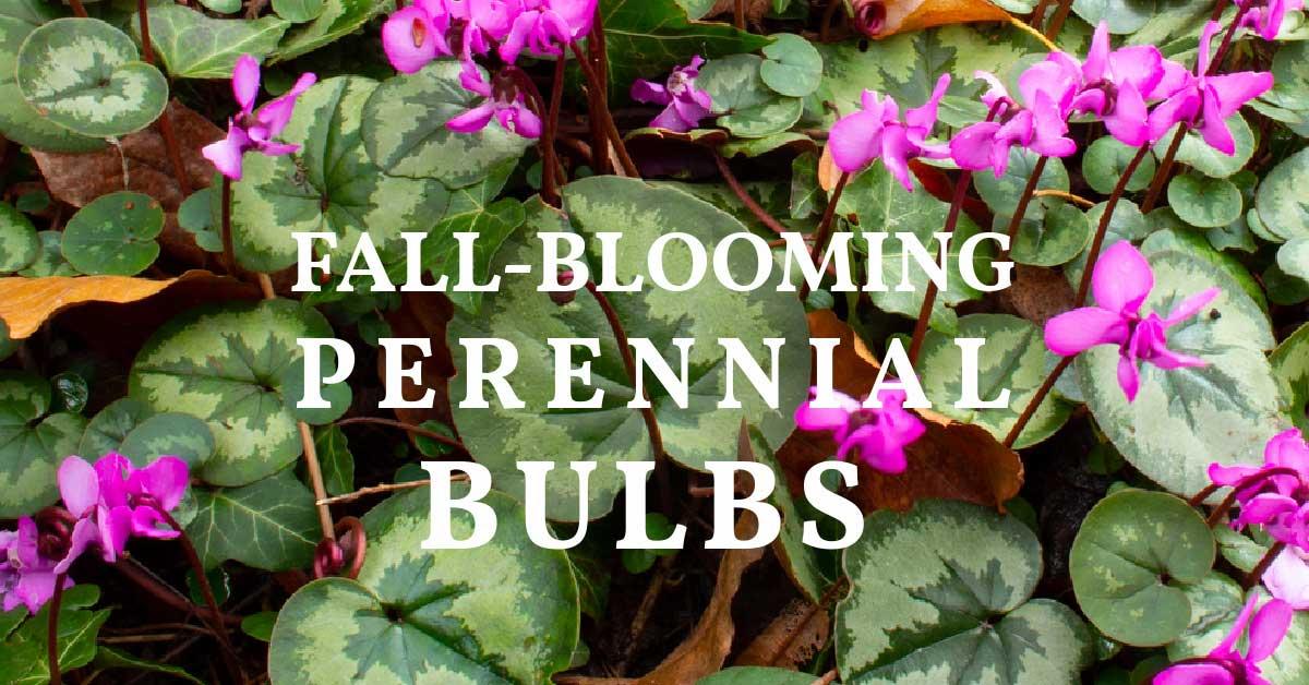 Fall-blooming cyclamen in the garden.