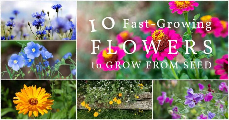 Fast-growing flowers including cornflower, marigold, and sweet pea.