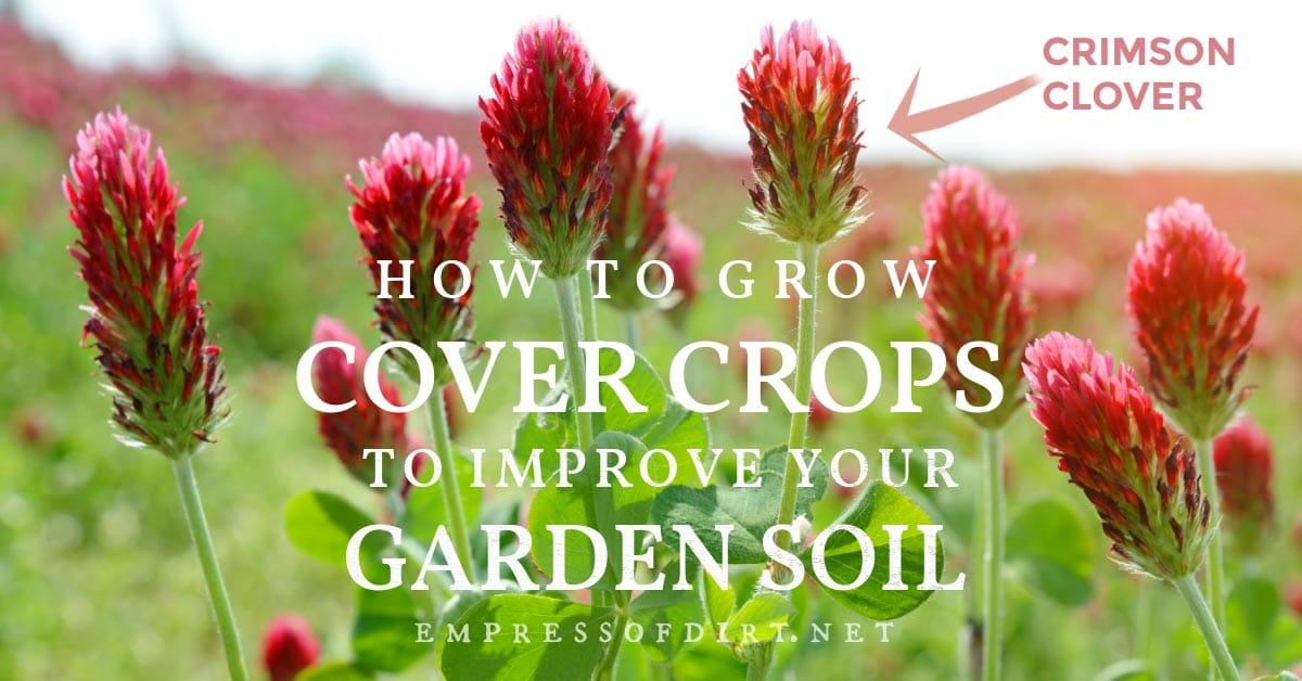 Crimson clover growing in the garden: a popular cover crop choice.