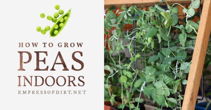 Green peas growing indoors.