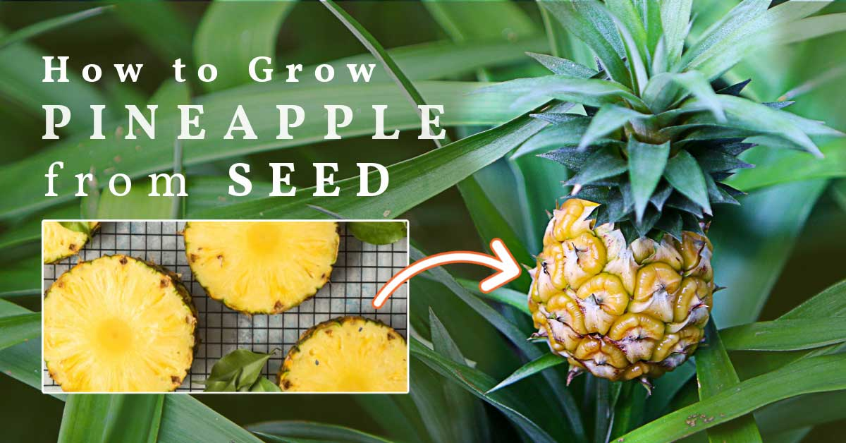 Slices of pineapple showing seed in fruit and a pineapple plant.