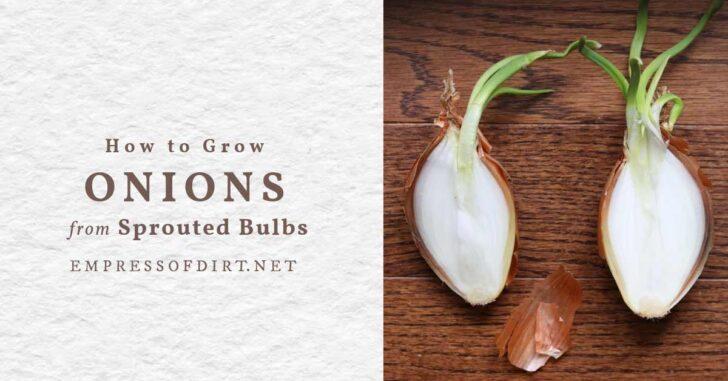 Onion cut open showing green shoots.