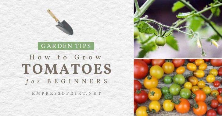 Tomato plants with yellow flowers; tomato harvest.