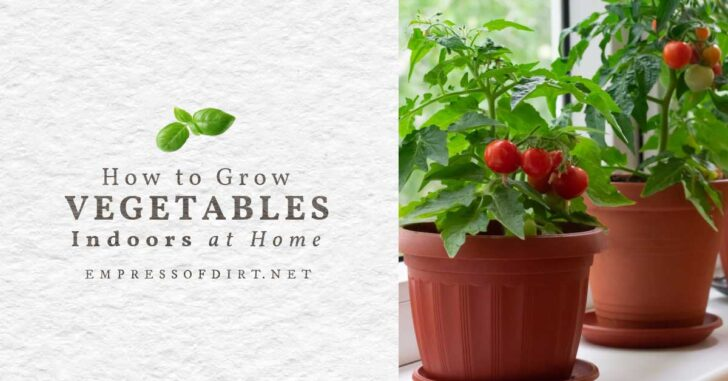 Growing tomatoes indoors in pots on a windowsill.