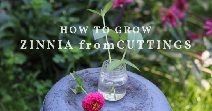 Zinnia cuttings rooting in a jar of water.