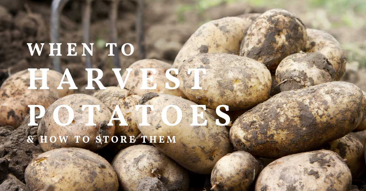 Digging potatoes out of the garden.
